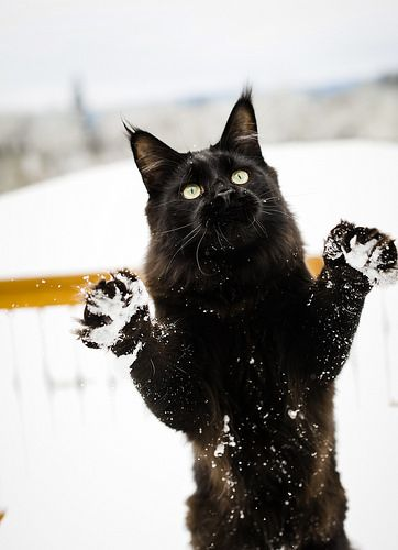 .Black cat in the snow.