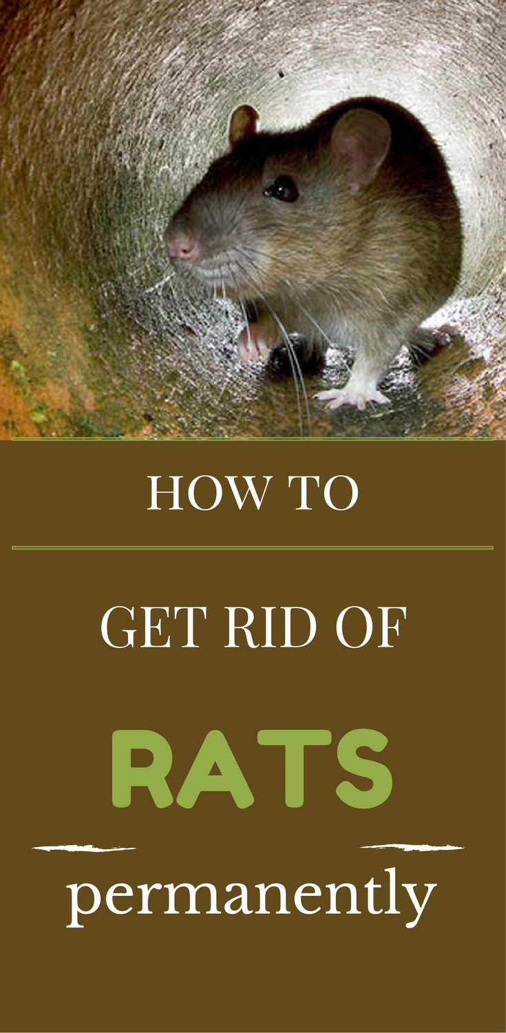 how to get rid of rats permanently rats getting rid of. Black Bedroom Furniture Sets. Home Design Ideas