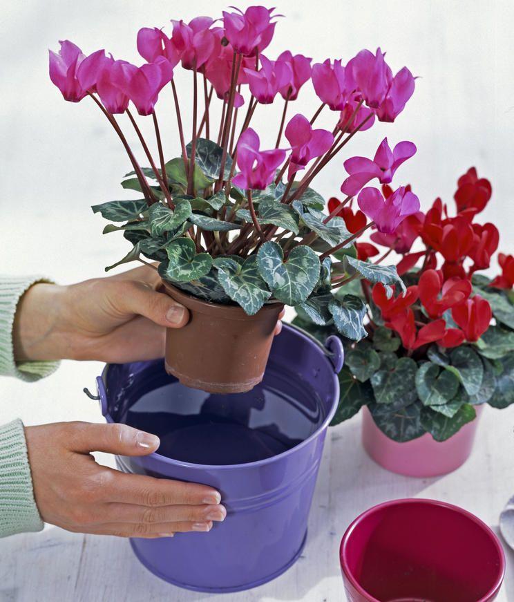So Giessen Sie Alpenveilchen Richtig Alpenveilchen Pflanzideen Pflanzen