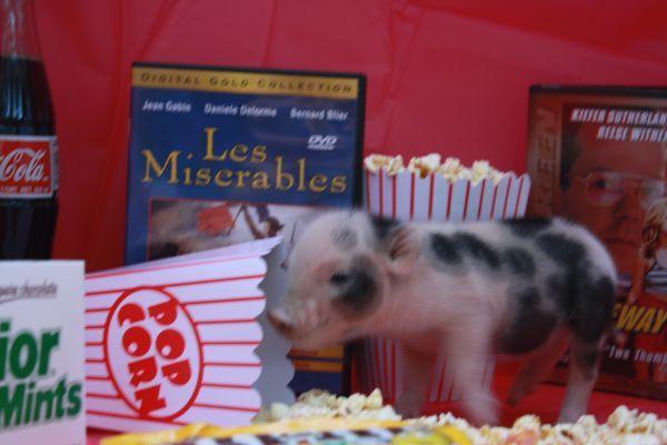 Male Teacup Mini Piglet for sale on craigslist Mini