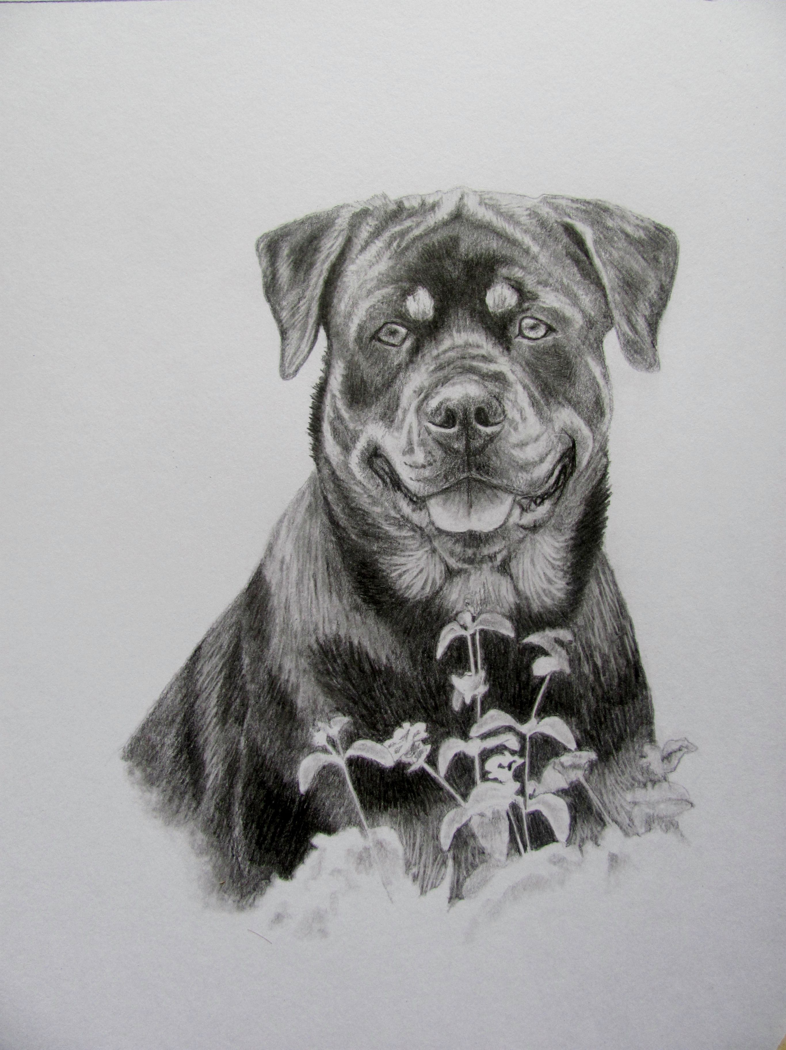 The Rottweiler Sketch I Just Finished Done In Graphite Pencil In
