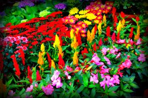 Summer Capital Of The Philippines My Beloved Baguio City Baguio City Flowers Flower Farm