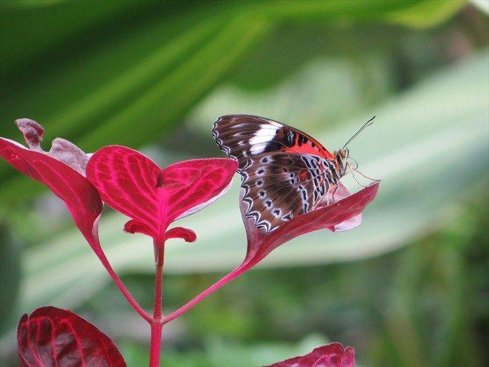 Colourful Butterfly, Kuranda, Queensland, Australia