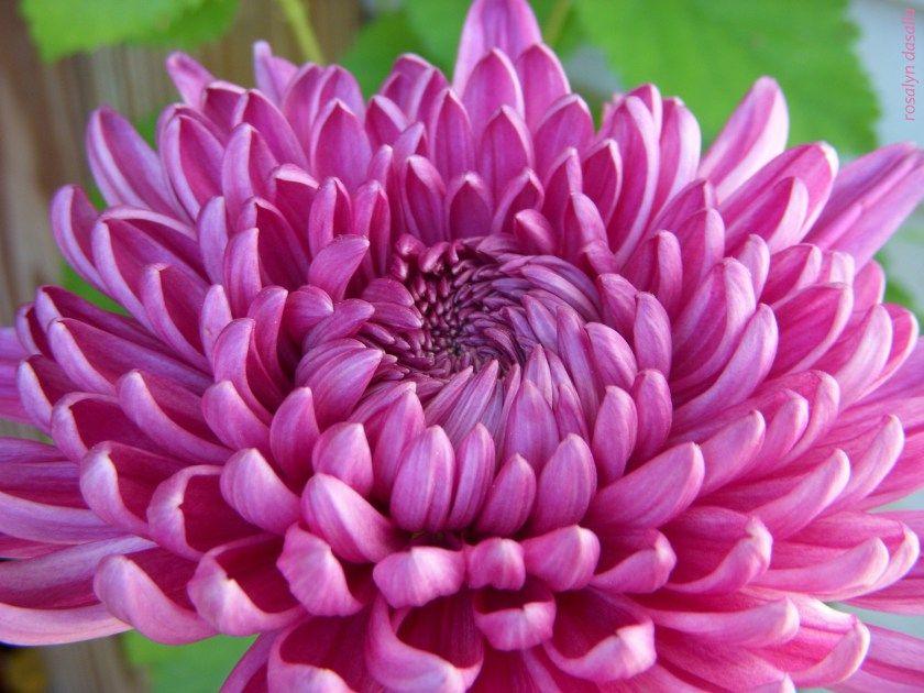 Chrysanthemum November flower