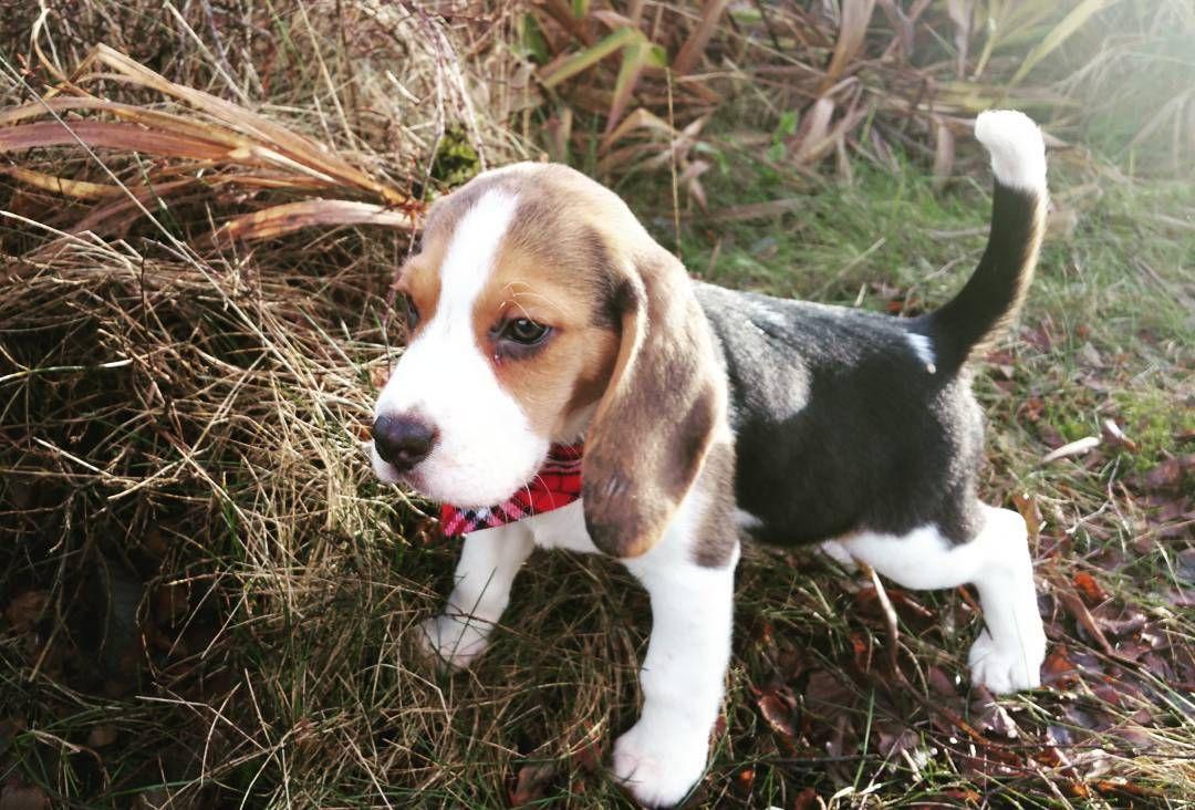 Small Explorer Pug Beagle Beagle Hound Dog