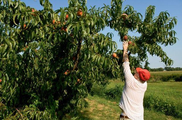 Illinois Fruit Trees
