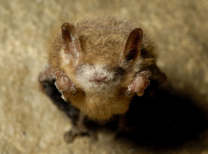 Tri colored bat with white-nose syndrome.