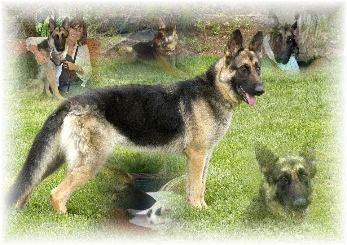 to Coastal German Shepherd Rescue of San Diego