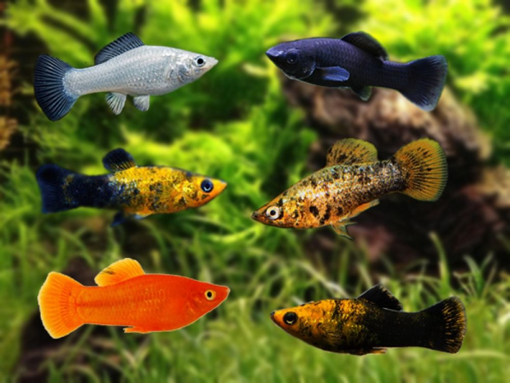 Assorted Sailfin Mollies In 2020 Colorful Fish Fish Molly Fish