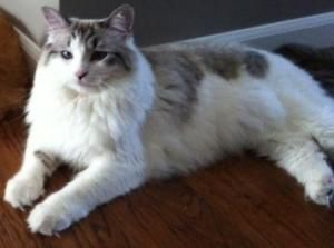 Adopt Hopi Indiana Purebred On Pet Finder I Love Cats Cats