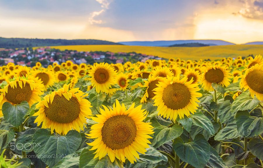 Sunflower Field by csillogo11