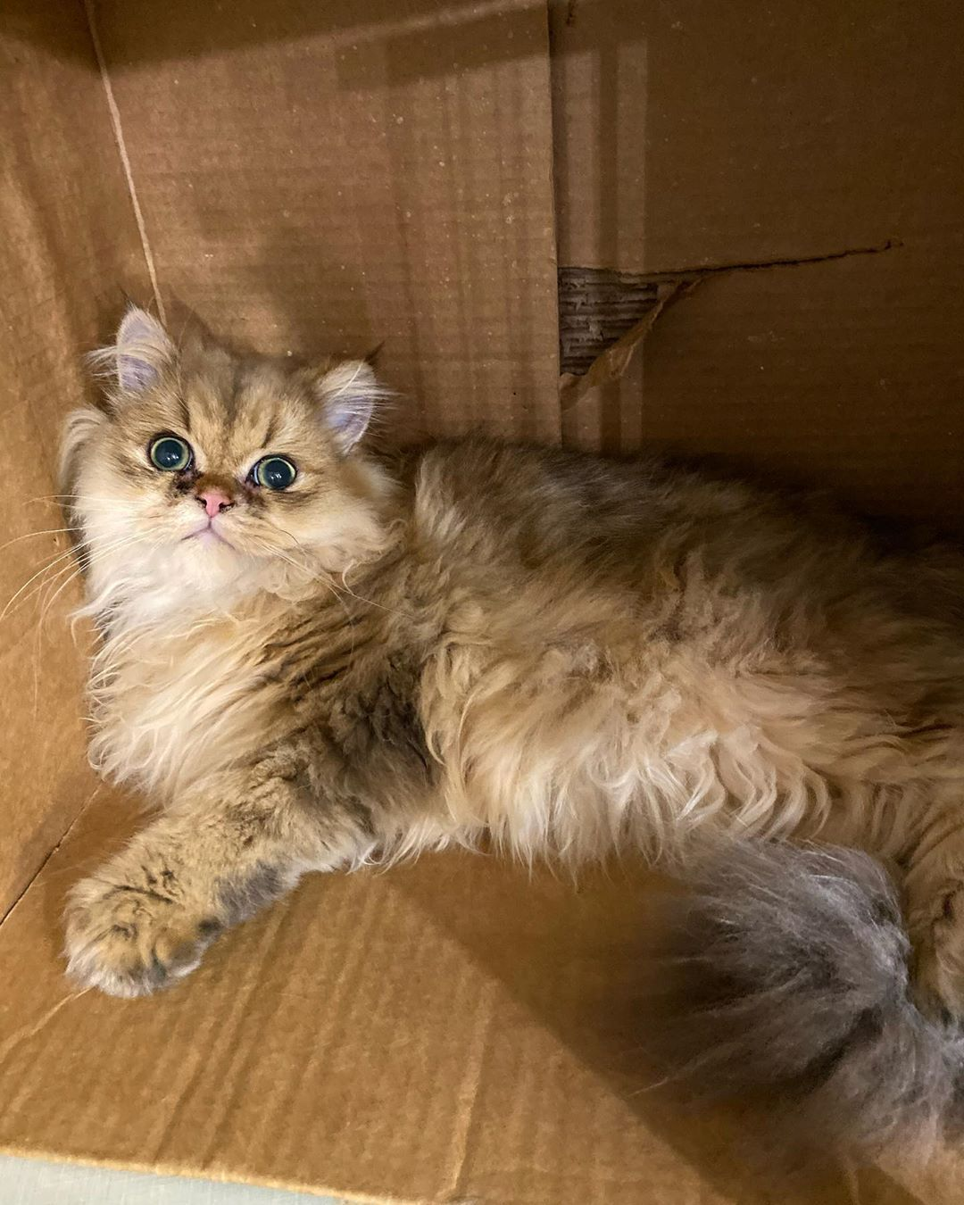 When your healthy cat food comes in a box ... sleep in it!!!! 🧡😹🐾 #cats #cat #kitten #kittens #persian #persiancat #persiancatsofinstagram #persiancatstagram #healthyfood #healthydiet #healthyrecipes #catmom #animals #cute #cuteanimals #cutenessoverload #longhaircat #catnip