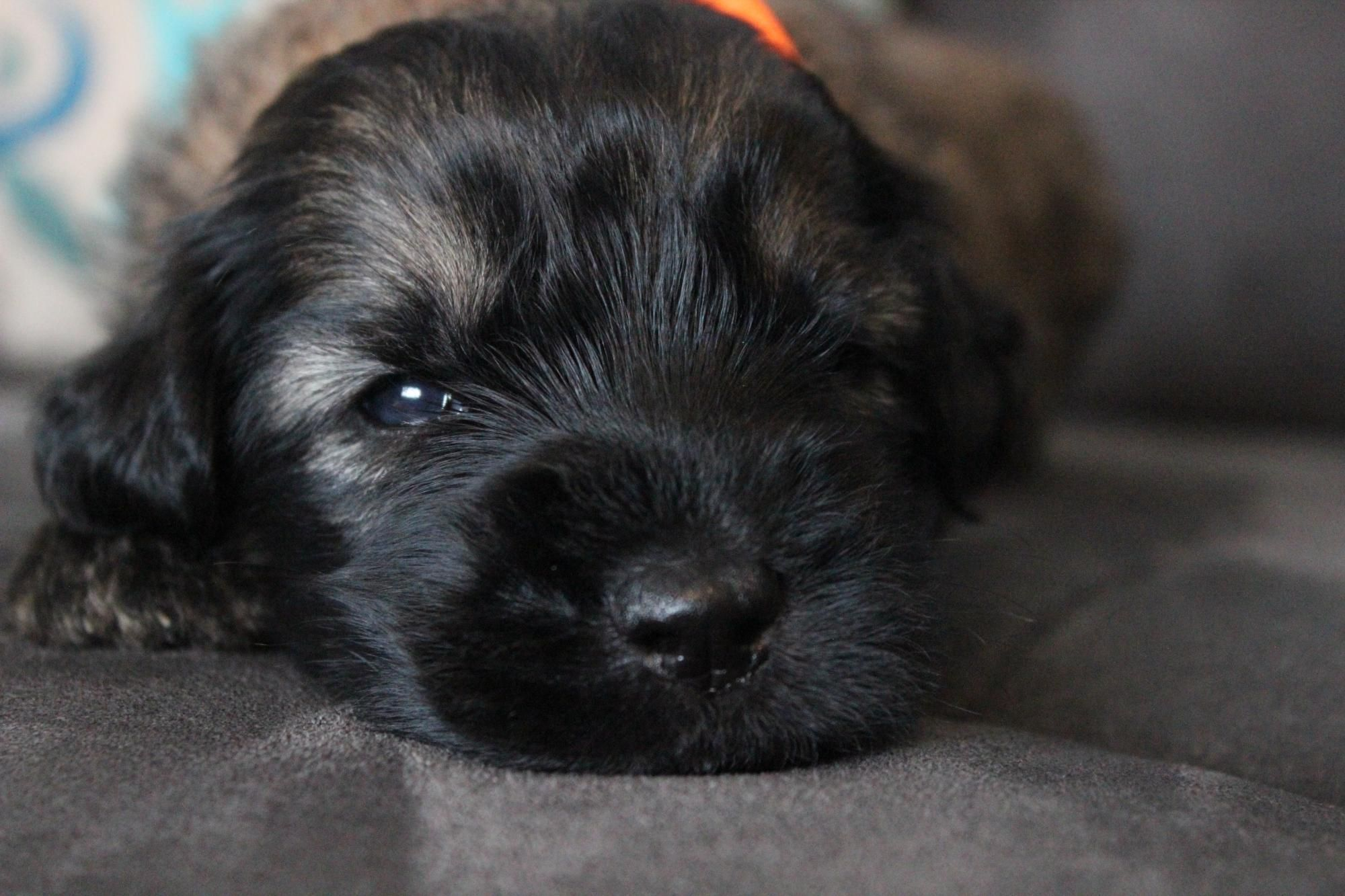 Giant Schnoodle Breeder Highest Quality Pups From Fishburn Homestead Kennel Schnoodle Giant Schnauzer Puppies For Sale