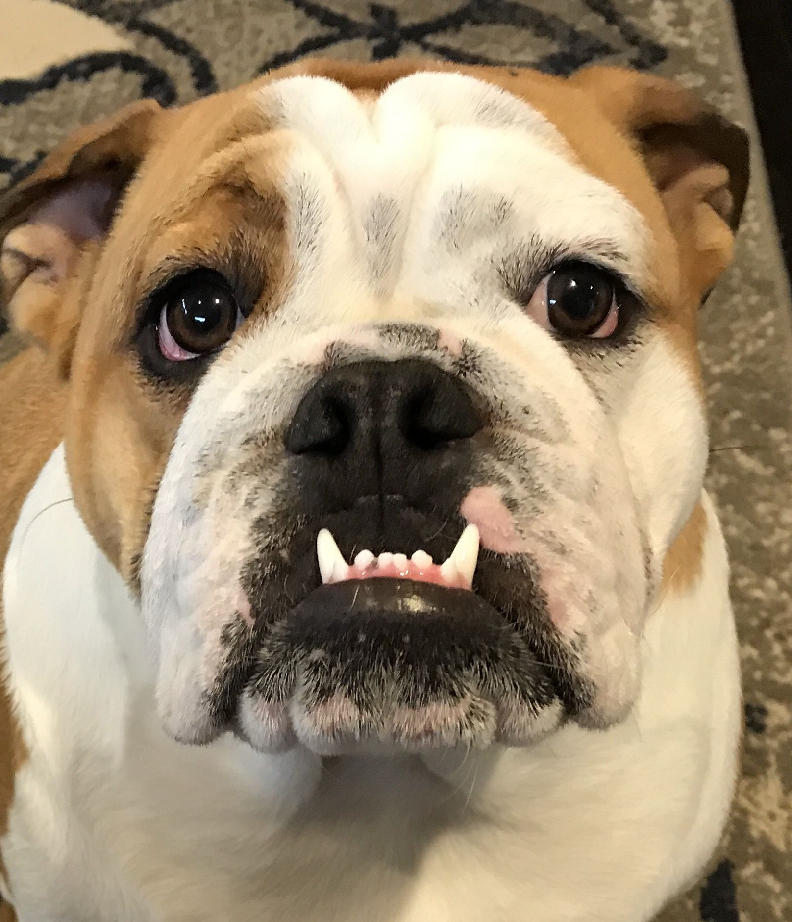 Pin by karen walton on my bulldogs english bulldog