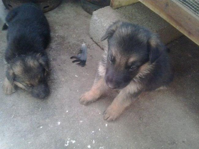 German Shepherd Puppies Price In Bangalore Zoe Fans Blog