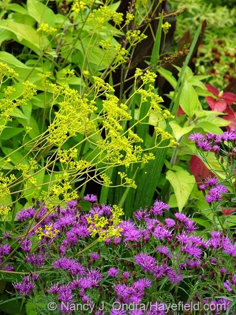 golden lace (Patrinia scabiosifolia) with narrow-leaved ironweed (Vernonia lettermannii).