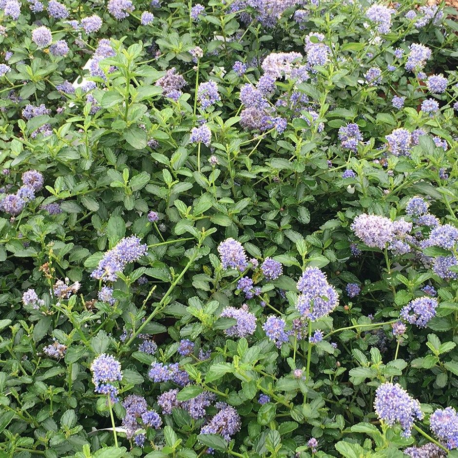 Ceanothus thyrsiflorus var repens blue flowers evergreen and repens creeping blueblossom a low growing evergreen with blue flowers izmirmasajfo