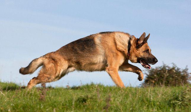 German Shepherd Dog Breed Information German Shepherd Dogs