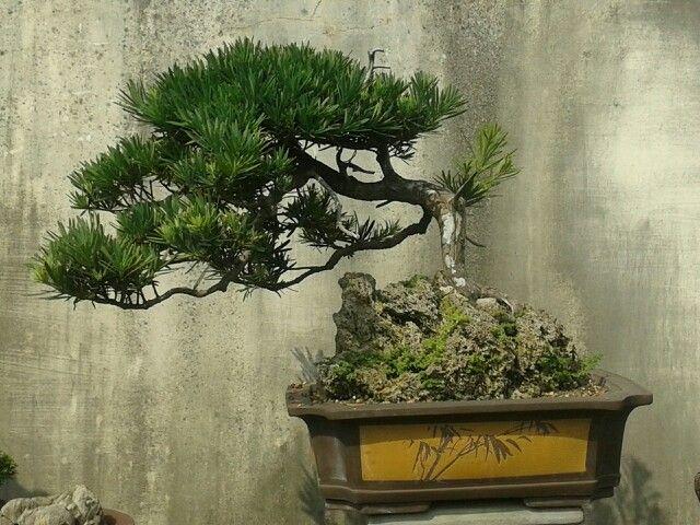 Bonsai Haus sumatra utara medan local bonsai artists and trees of his garden