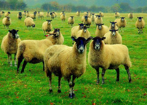 Baa, baa, baa and then some, sheep
