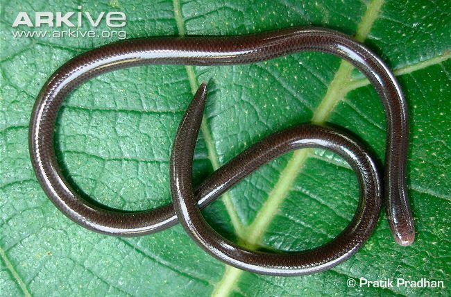 Brahminy Blind Snake Videos Photos And Facts Ramphotyphlops Braminus Arkive Snake Small Snakes Types Of Snake