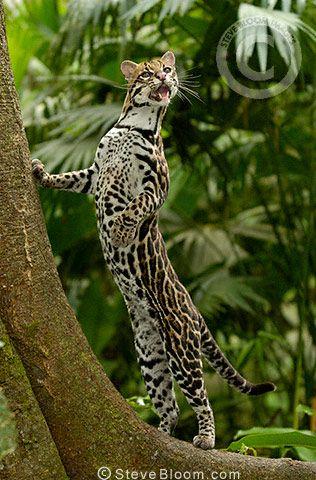Amazon rainforest ocelot - photo#42