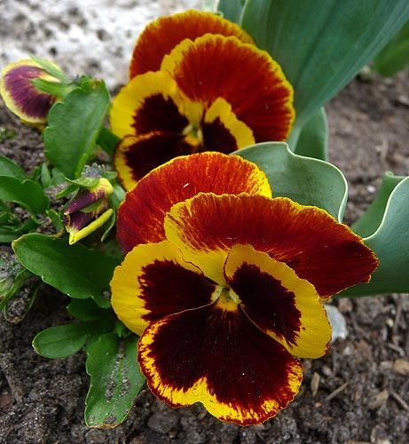 Parts Of A Pansy Flower Orange Yellow Pansy Flower Orange Yellow Pansy Flower May 04 Pansies Flowers Pansies Daffodil Flower