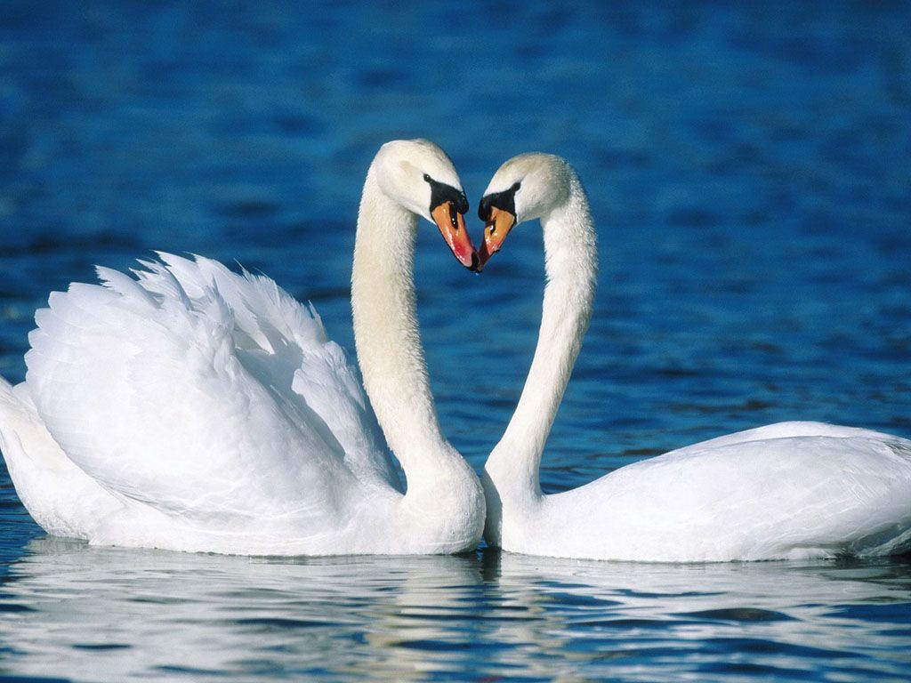 swan couple,did you know they fall in love, stay a couple forever
