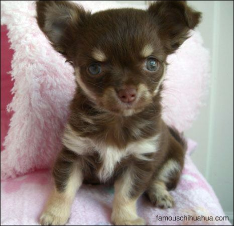 Coco The Teacup Chihuahua Puppy That Dances Circles Chihuahua
