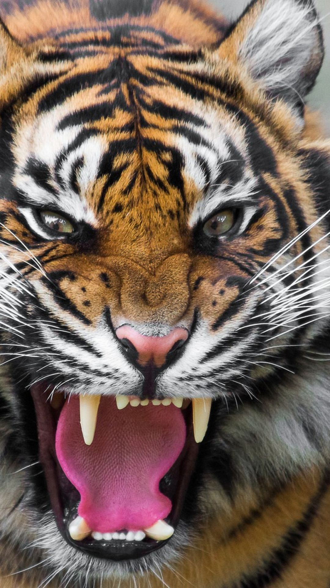tiger, face, teeth, anger, big cat Animaux sauvages