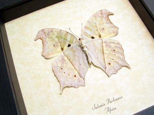 REAL FRAMED BUTTERFLY MOTHER OF PEARL SALAMIS PARHASSUS 200V