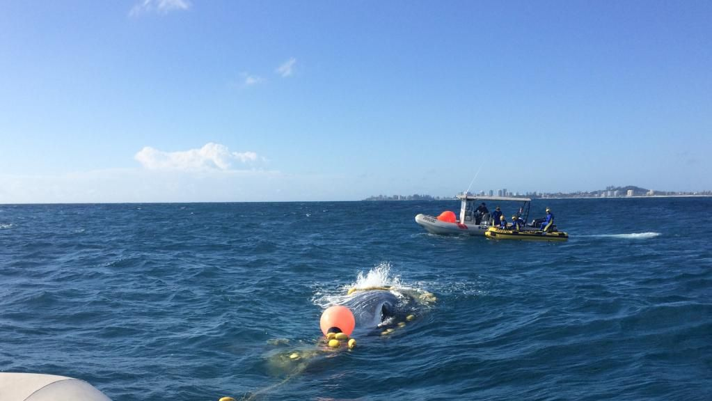 Rescuers free humpback whale trapped in shark nets in