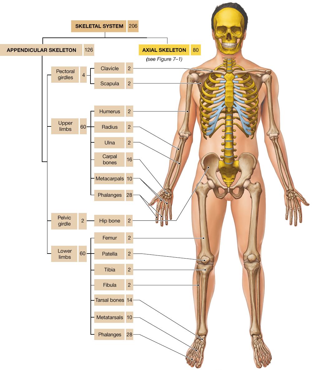 8 The Appendicular Skeleton Ap Pinterest Skeletons