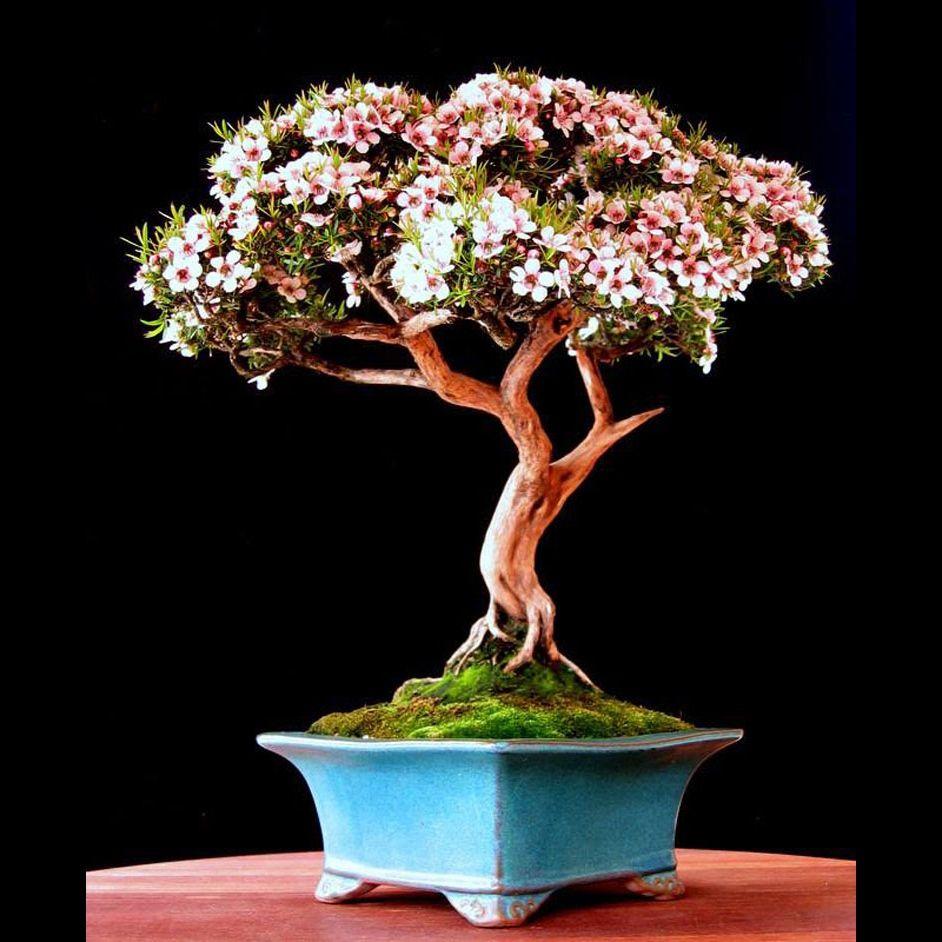 Flowering New Zealand Tea Tree Bonsai In Blue Pot On Table Pink Flowers In 2021 Bonsai Tree Bonsai Flower Bonsai