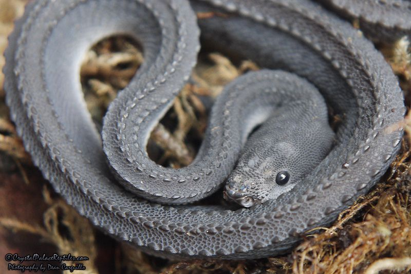 Dragon Snake (Xenodermus javanicus) | God's Creatures ... | 800 x 535 jpeg 75kB