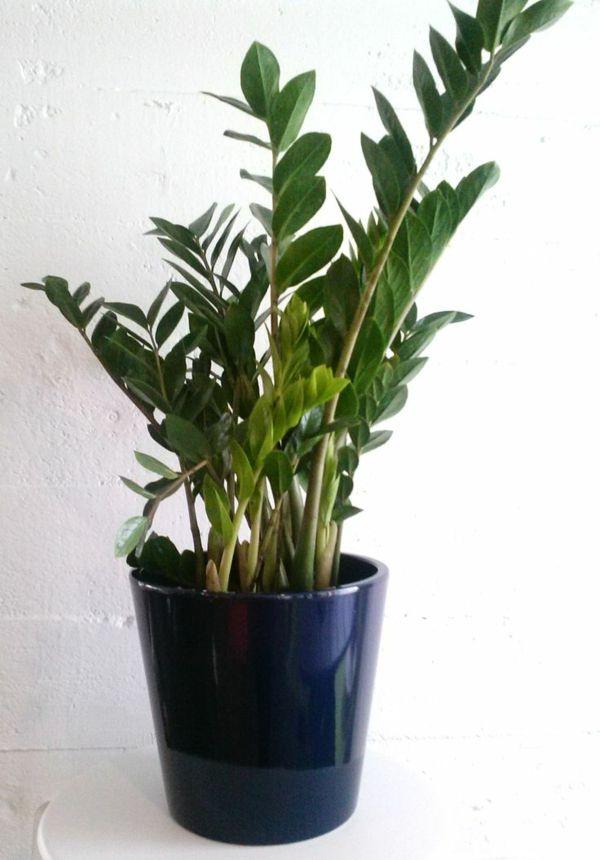 zimmerpflanzen wenig licht glücksfeder zamioculcas zamiifolia ...