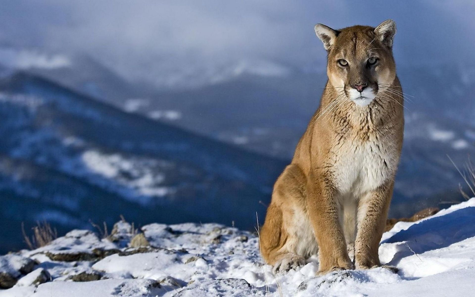 Cougar In Winter Wallpaper Big Cats Animals Wallpapers HD