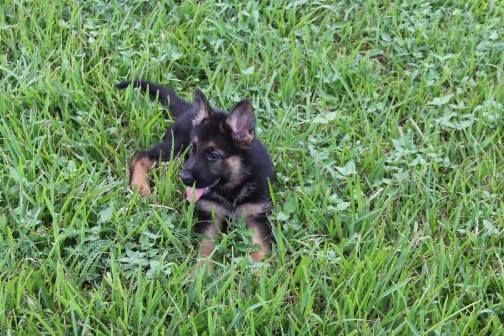 Exceptional Purebred Akc German Shepherd Puppies For Sale In Texas