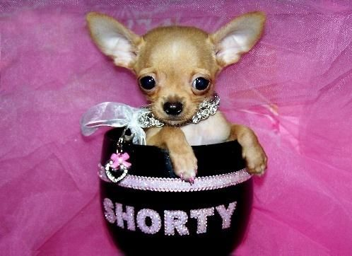 Dallas Tx Teacup Puppies For Sale Houston Texas Teacup Puppies Cute Chihuahua