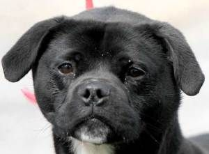 Adopt 568 Pugsely On Petfinder Dog Activities Dog Adoption Dogs