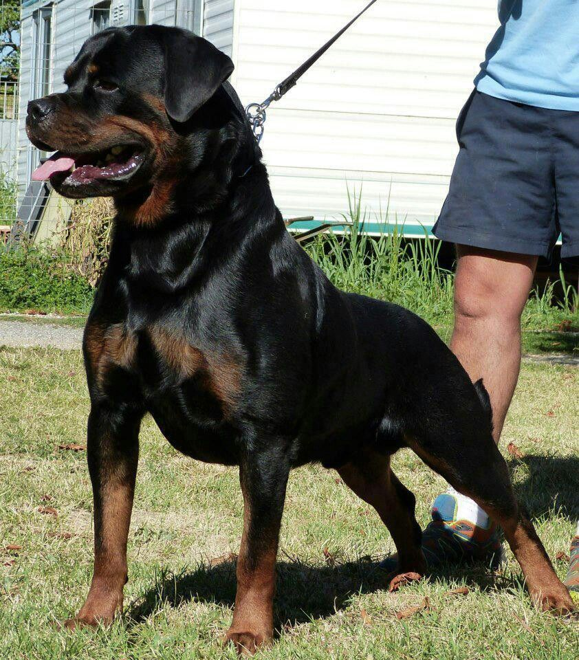 My Nicodemus I Miss You Boy Rottweiler Dog Dog Lovers