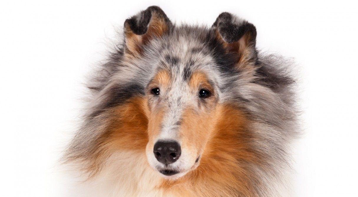 Collie Dog Breed Information Collie Dog Service Dogs Breeds