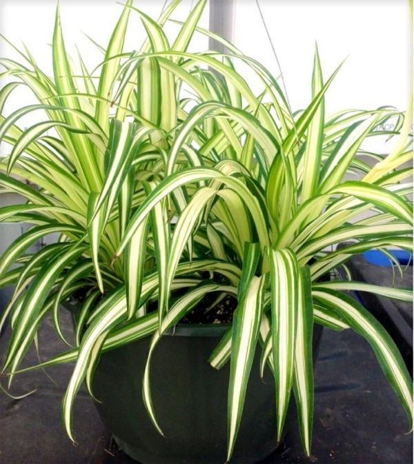 Zimmerpflanzen Für Dunkle Standorte grünlilie wächst schnell bauprojekte