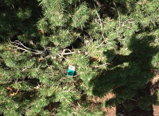 August 5, 2012. An empty pack of Newport cigarettes discarded in a Pine tree. The garbage can was just a few steps away. Steps walked: 10, 642