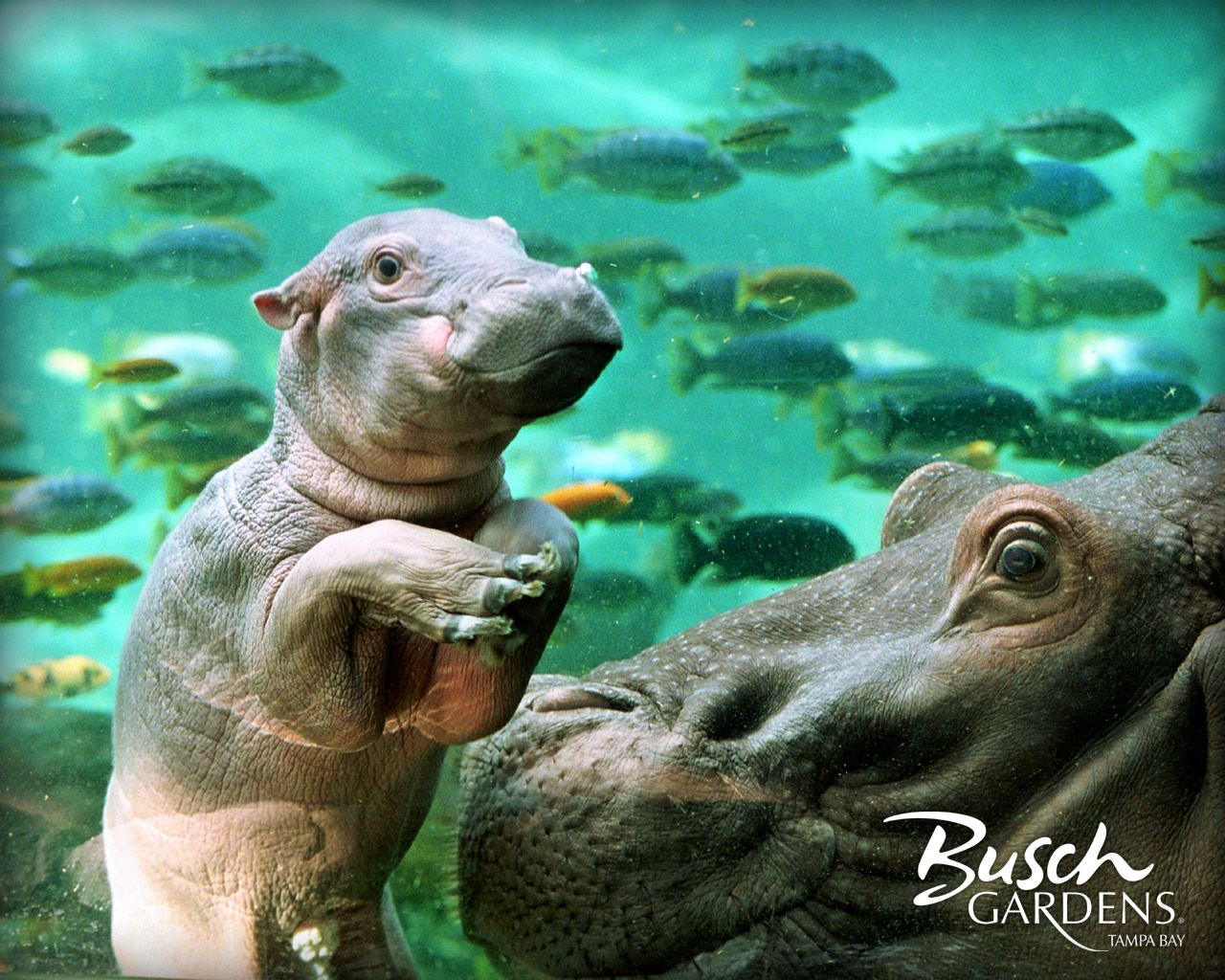Hippos Wallpaper Hippo Wallpaper Baby Animals Pictures Animals Beautiful Cute Baby Animals