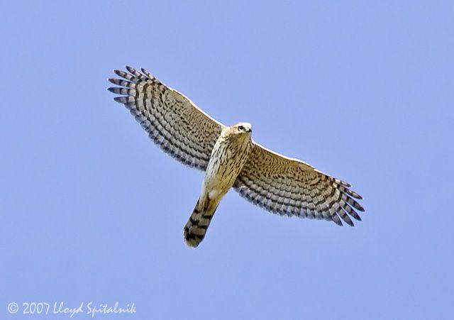 Cooper S Hawk Size
