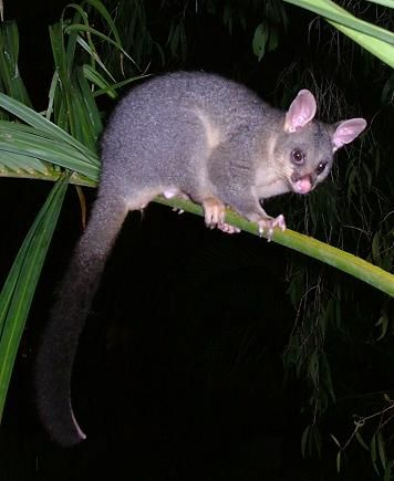 Common Brushtail Possum We Have These Living In Our Backyard Constantly Trying To Get Into Our Garage Or Roof To Nest When Australian Animals Possum Animals