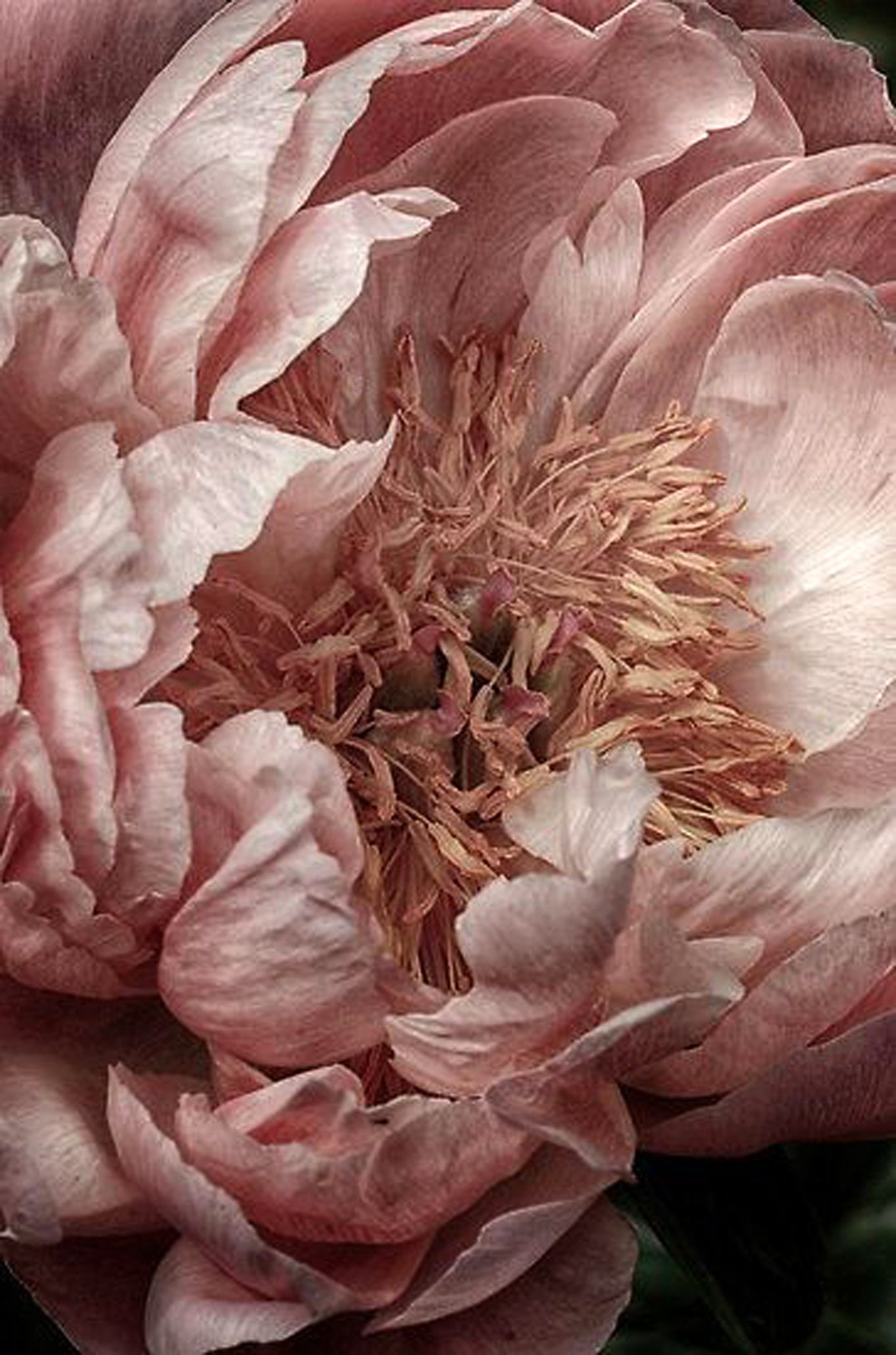 Lovely peony lovely photos pinterest peony flowers and flower flower close up pink piony by nicole w mightylinksfo