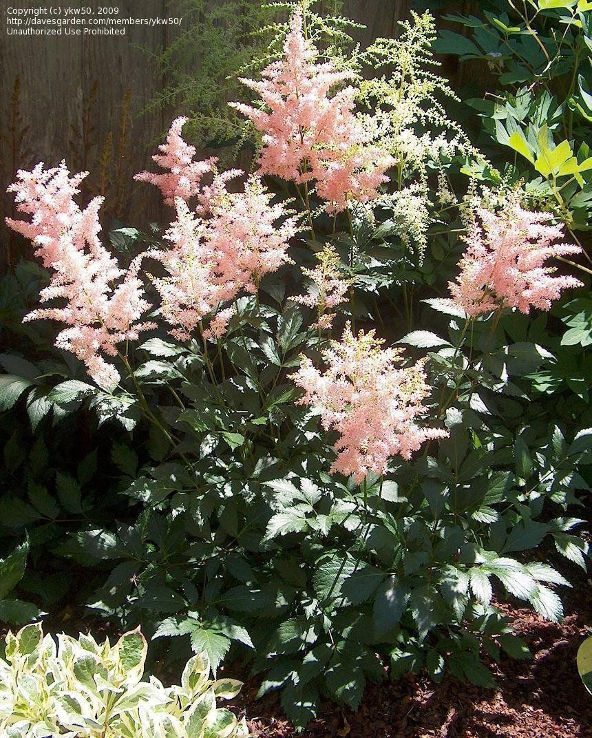 View Picture Of False Spirea False Goat S Beard Peach Blossom Astilbe X Arendsii At Dave S Garden All Pictures Are Contribute Goats Beard Spirea Astilbe