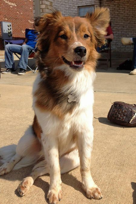 Australian Shepherd Golden Retriever Mix I Know This Is Not A